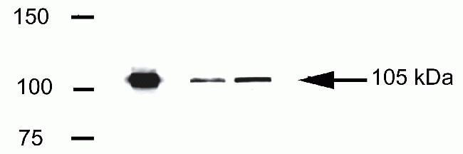 LSD1 Antibody (41-3300) in Western Blot