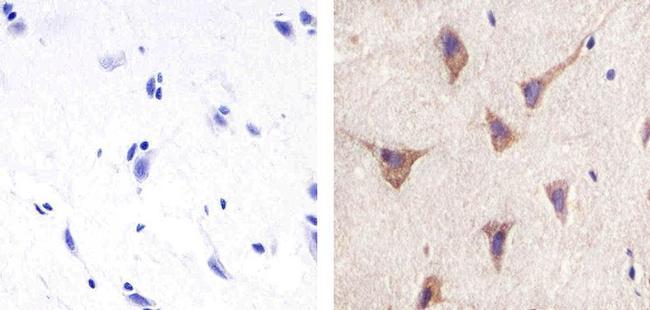 Pannexin 2 Antibody (42-2800) in Immunohistochemistry (Paraffin)