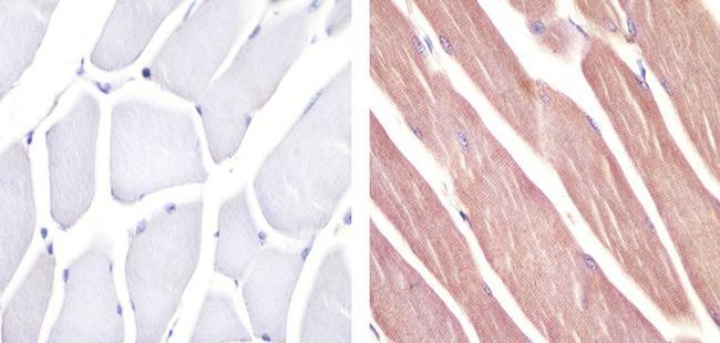 Pannexin 2 Polyclonal Antibody