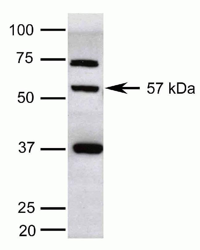 KLF5 Antibody (42-3200)