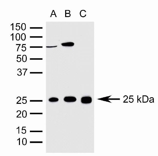 OPRS1 Antibody (42-3300)