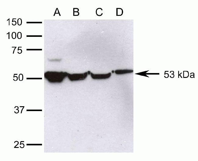Nova-2 Antibody (42-3500)