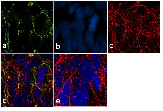 PODXL Antibody (433140) in Immunofluorescence