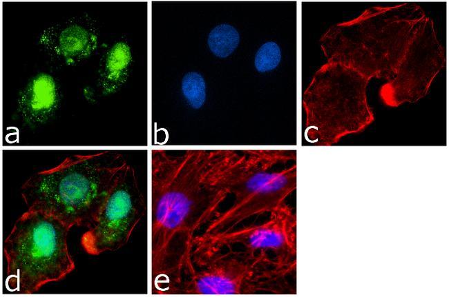 PARP Antibody (436400) in Immunofluorescence