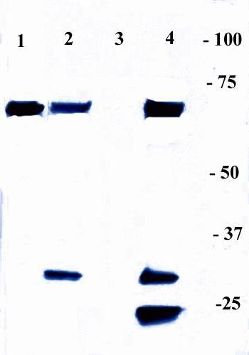 NFkB p65 Antibody (436700) in Immunoprecipitation