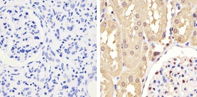 GAPDH Antibody (437000) in Immunohistochemistry (Paraffin)