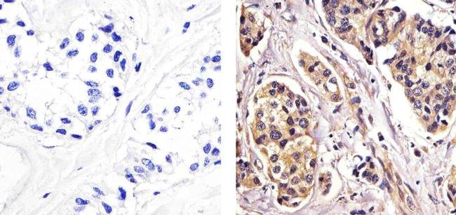 RelB Antibody (437500) in Immunohistochemistry (Paraffin)