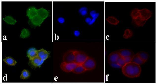 Phospho-PDGFRA/PDGFRB (Tyr572, Tyr574) Antibody (44-1000G) in Immunofluorescence