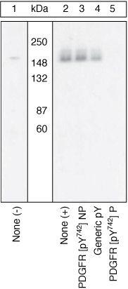 Phospho-PDGFRA (Tyr742) Antibody (44-1006) in Western Blot