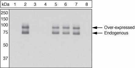 Phospho-Paxillin (Ser273) Antibody (44-1028G) in Western Blot
