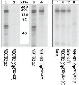 Phospho-VEGF Receptor 2 (Tyr1054, Tyr1059) Antibody (44-1047G) in Western Blot
