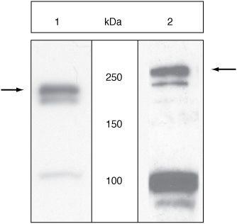 VEGF Receptor 2 / Flk-1 Antibody (44-1053G)