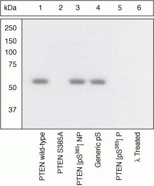 Phospho-PTEN (Ser385) Antibody (44-1064G)