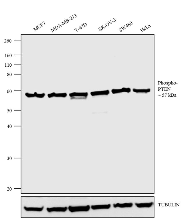 Phospho-PTEN (Ser380, Thr382, Ser385) Antibody (44-1066G) in Western Blot