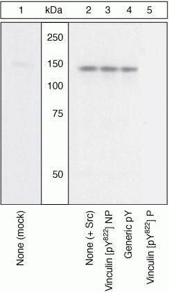 Phospho-Vinculin (Tyr822) Antibody (44-1080G) in Western Blot
