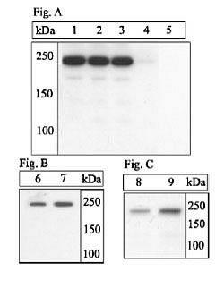 Phospho-mTOR (Ser2448) Antibody (44-1125G) in Western Blot