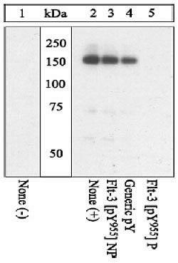 Phospho-FLT3 (Tyr955) Antibody (44-1130G)