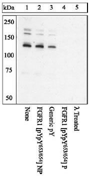 Phospho-FGFR1 (Tyr653, Tyr654) Antibody (44-1140G) in Western Blot