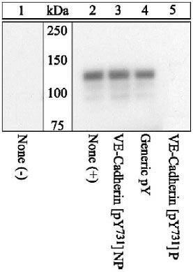 Phospho-VE-cadherin (Tyr731) Antibody (44-1145G) in Western Blot