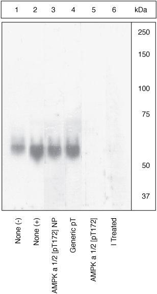 Phospho-AMPK alpha-1,2 (Thr172) Antibody (44-1150G) in Western Blot