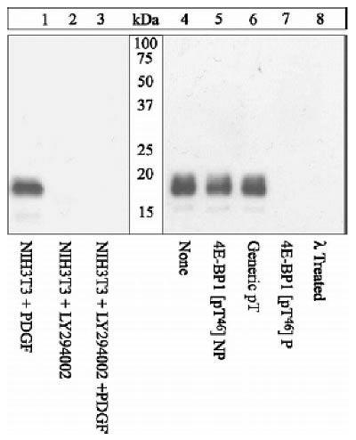 Phospho-4E-BP1 (Thr46) Antibody (44-1170G) in Western Blot