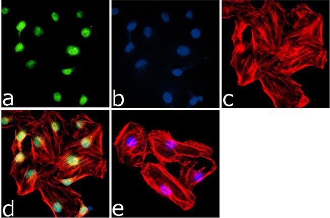 Phospho-4E-BP1 (Thr46) Antibody (44-1170G) in Immunofluorescence