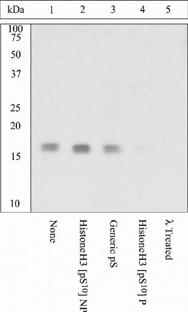Phospho-Histone H3 (Ser10) Antibody (44-1190G) in Western Blot