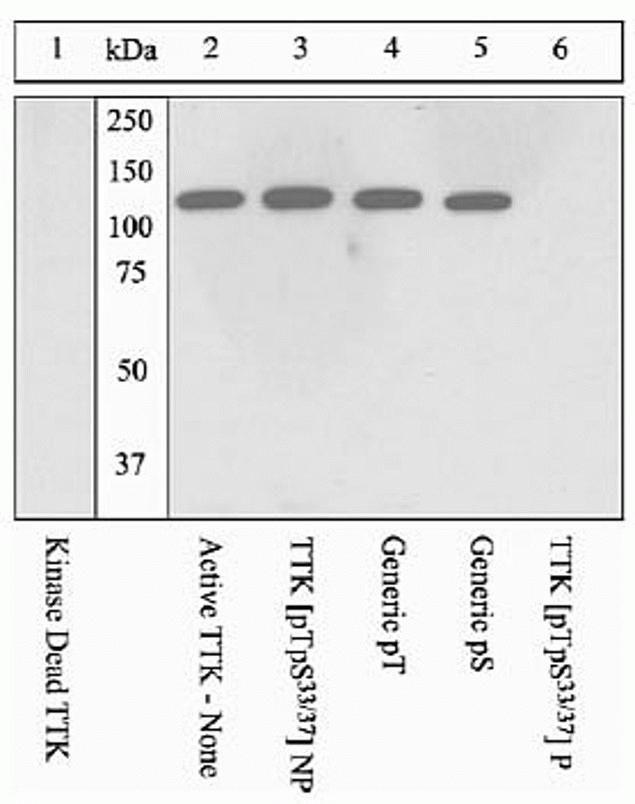 Phospho-TTK (Thr33, Ser37) Antibody (44-1325G) in Western Blot