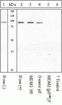 Phospho-MDM2 (Ser166) Antibody (44-1400G) in Western Blot