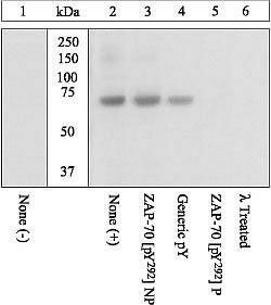 Phospho-ZAP70 (Tyr292) Antibody (44-230G) in Western Blot