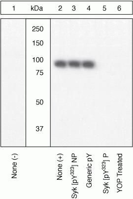 Phospho-Syk (Tyr323, Tyr317) Antibody (44-234G) in Western Blot