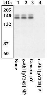 Phospho-c-Abl (Tyr245) Antibody (44-250)