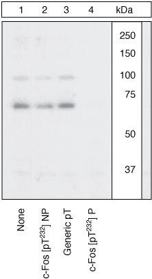 Phospho-c-Fos (Thr232) Antibody (44-280G) in Western Blot