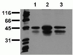 Phospho-CREB (Ser129, Ser133) Antibody (44-297G) in Western Blot