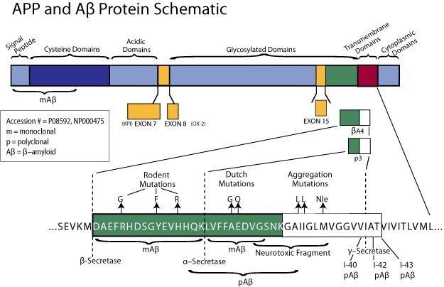 beta Amyloid (1-43) Antibody (44-340)