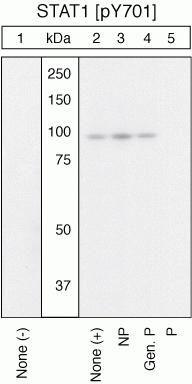 Phospho-STAT1 (Tyr701) Antibody (44-376G) in Western Blot