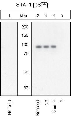 Phospho-STAT1 (Ser727) Antibody (44-382G) in Western Blot