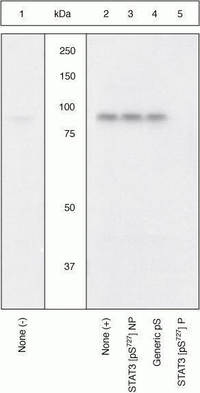 Phospho-STAT3 (Ser727) Antibody (44-384G) in Western Blot
