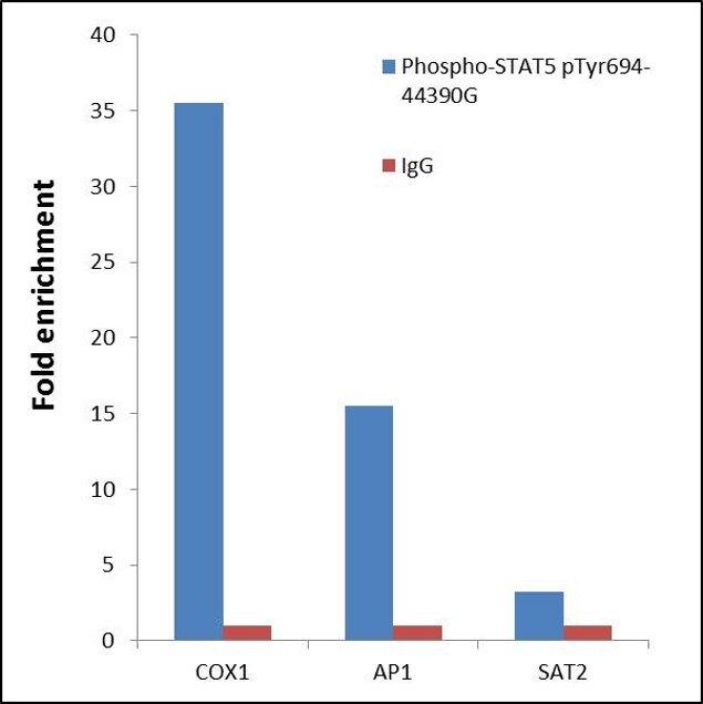Phospho-STAT5 alpha (Tyr694) Antibody (44-390G) in ChIP assay
