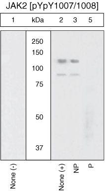 Phospho-JAK2 (Tyr1007, Tyr1008) Antibody (44-426G)