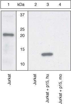 BID p15 Antibody (44-433G) in Western Blot