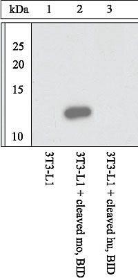 BID p15 Antibody (44-436G) in Western Blot