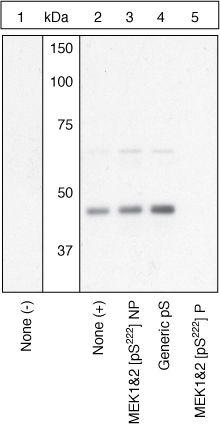 Phospho-MEK1/MEK2 (Ser222) Antibody (44-452) in Western Blot