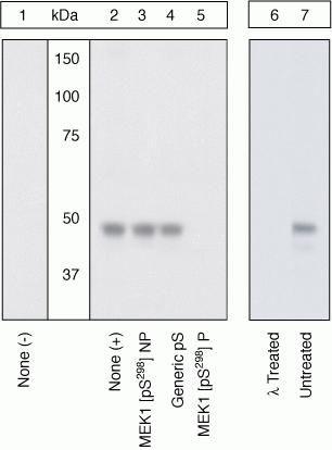 Phospho-MEK1 (Ser298) Antibody (44-460G) in Western Blot