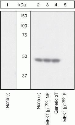 Phospho-MEK1 (Thr386) Antibody (44-462G)