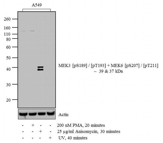 Phospho-MEK3/MEK6 (Ser189, Thr193, Ser207, Thr211) Antibody (44470G) in Western Blot