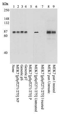 Phospho-MEK7 (Ser271, Thr275) Antibody (44-478) in Western Blot