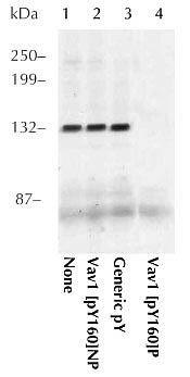 Phospho-VAV1 (Tyr160) Antibody (44-482)