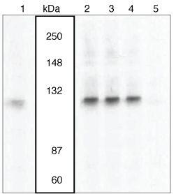 Phospho-VAV3 (Tyr173) Antibody (44-488) in Western Blot