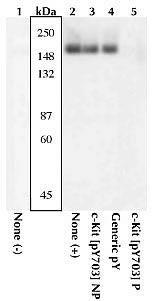 Phospho-c-Kit (Tyr568, Tyr570) Antibody (44-490G) in Western Blot